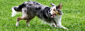 Hund der mit heraushängender Zunge auf einer Wiese rennt